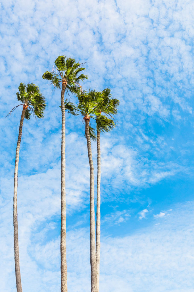 Vertical shot of four palm trees.
